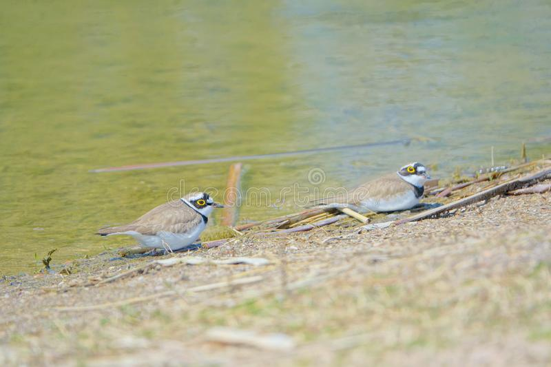 Little Ringed Plover. Two Little Ringed Plover rest on the river bank. Scientific name: Charadrius dubius stock photo