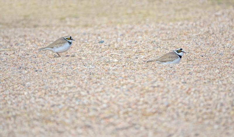 Little Ringed Plover. Two Little Ringed Plover rest in sand. Scientific name: Charadrius dubius stock images