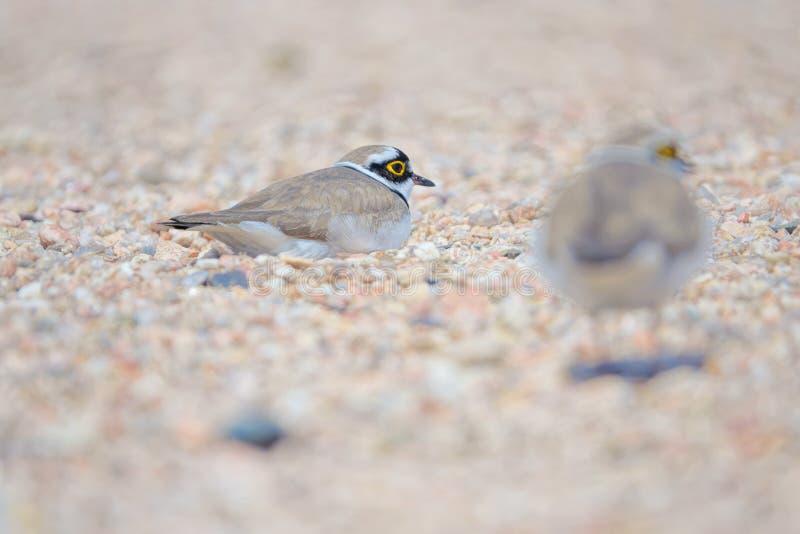 Little Ringed Plover. Two Little Ringed Plover rest in sand. Scientific name: Charadrius dubius stock image