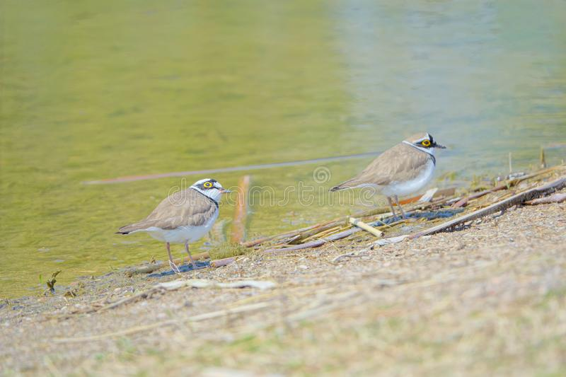 Little Ringed Plover. Two Little Ringed Plover stand on bank of river. Scientific name: Charadrius dubius royalty free stock image