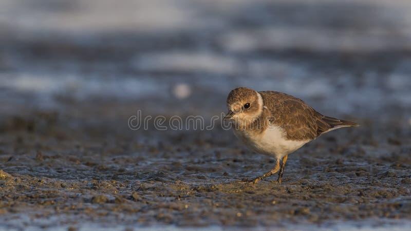 Little Ringed Plover Wandering on Shore stock photo