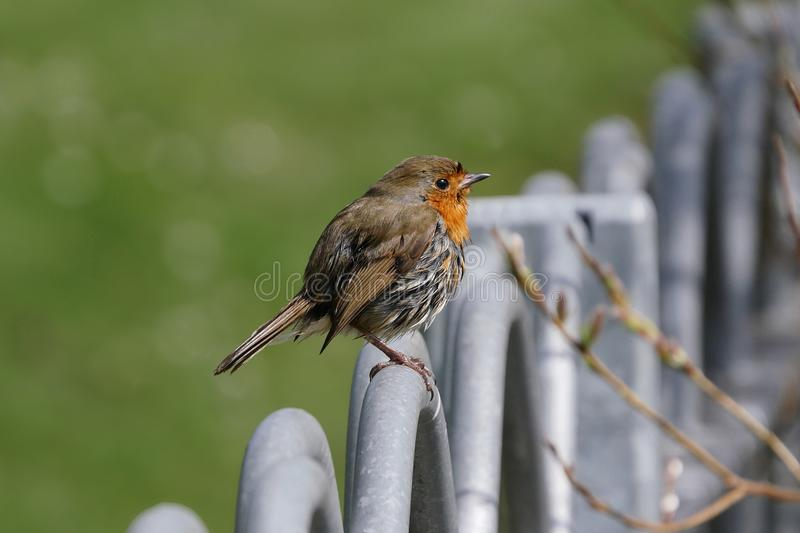 Little robin bird / Erithacus rubecula perched onm metal fence railings stock photos