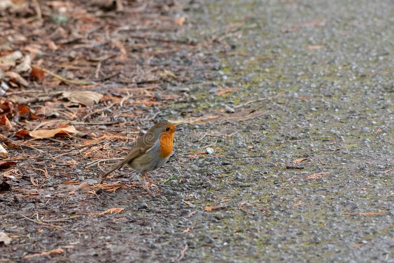 A Little Robin on the Ground in Winter royalty free stock photos