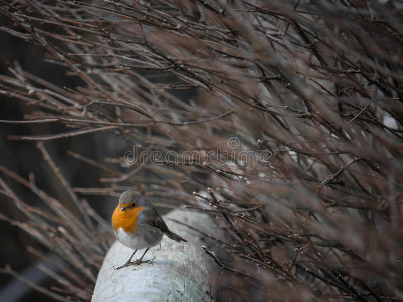 A Little Robin Red Breast stock photos