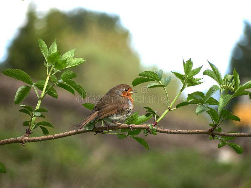 A little Robin Redbreast. A Robin Redbreast sitting on a twig surrounded by leaves stock photos