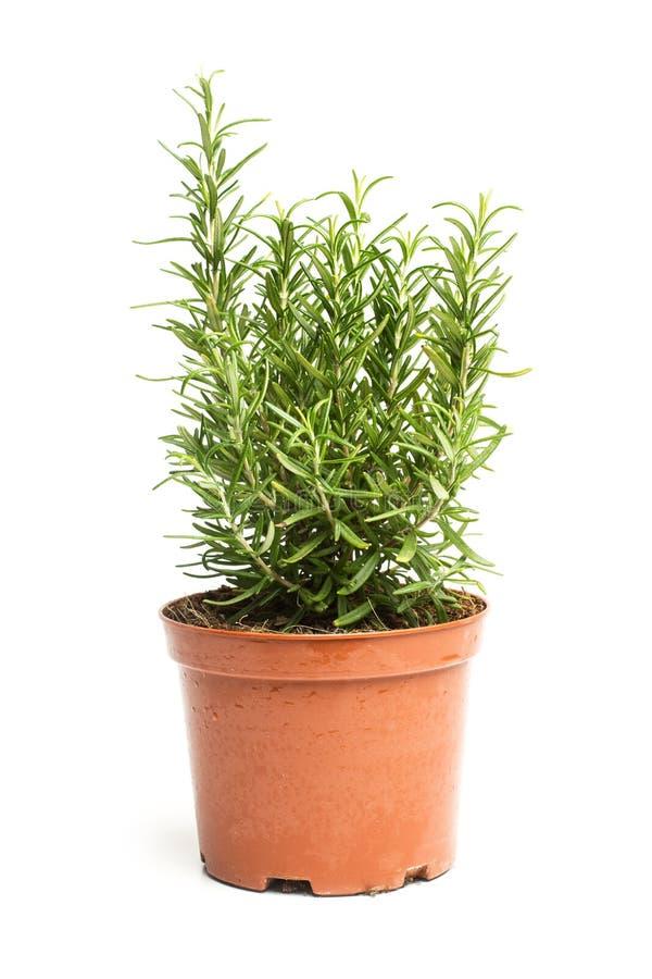 A little rosmary plant stock photos