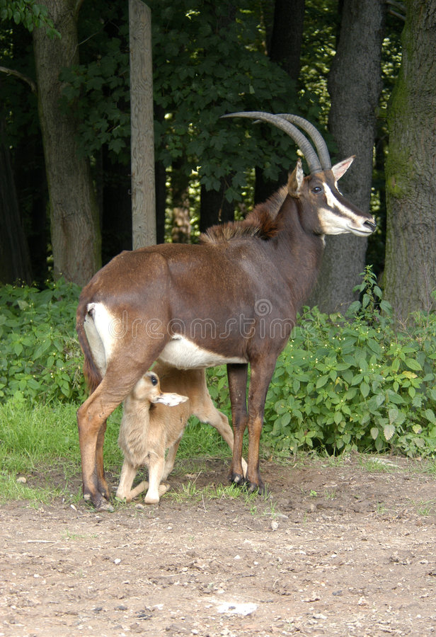 Free Little Sable Antelope Suckling Its Mother Stock Photography - 495502