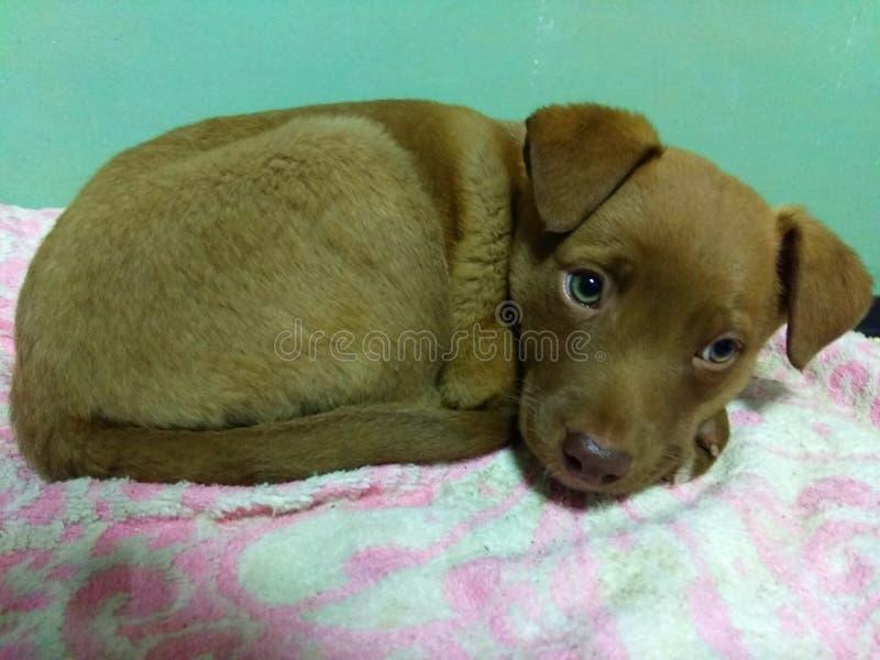 Little sad brown dog puppy royalty free stock photo