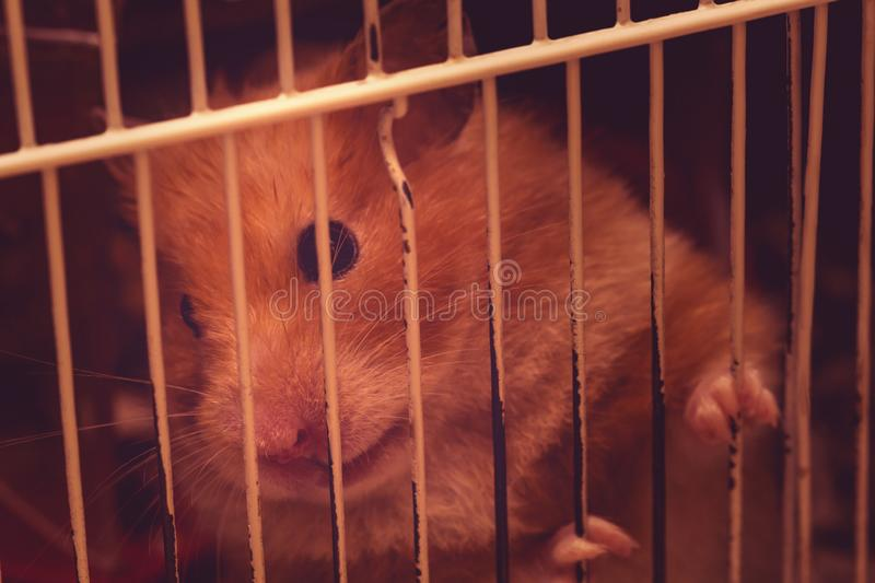 Little sad hamster sitting inside a Cage. Close-up of a cut Hamster in front royalty free stock image