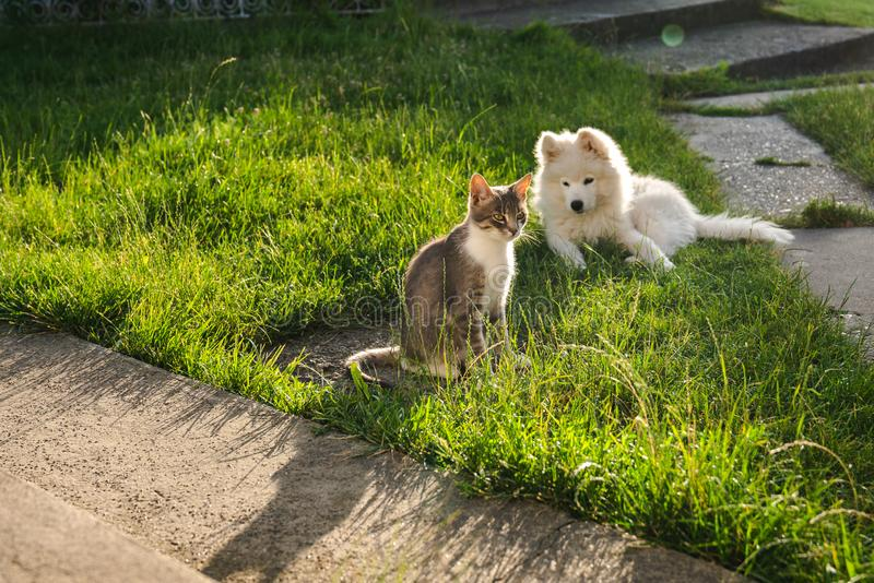 Little samoyed puppy sitting on green grass with grey cat with white, basking in the morning sun royalty free stock photography