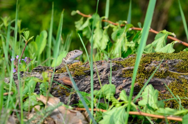 Little Sand lizard. On a branch stock photography