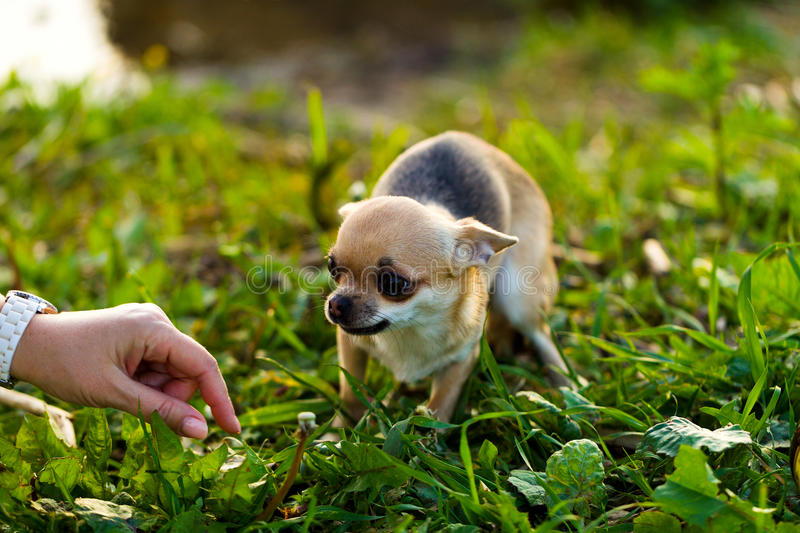 Little scared chihuahua dog. On the background of green grass stock image
