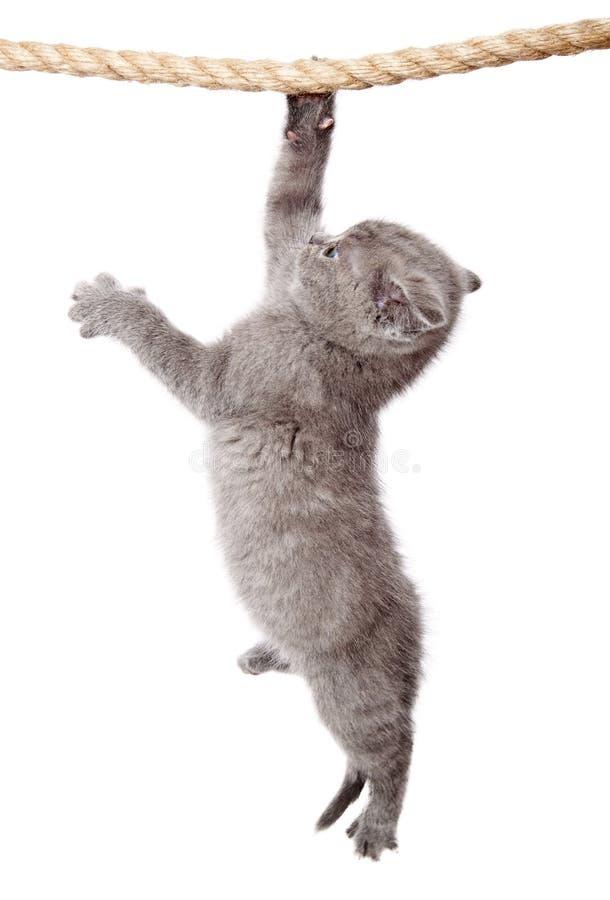 A little scottish fold kitten stock image