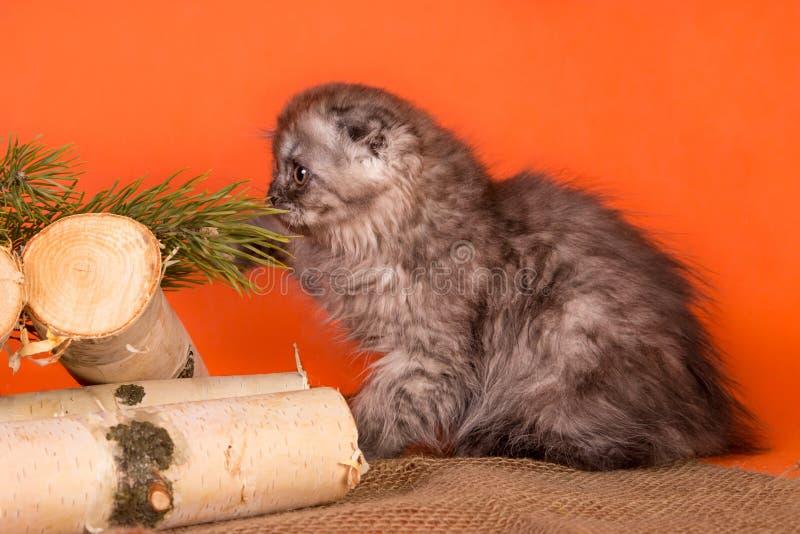 The little Scottish Fold kitten on orange background stock photos