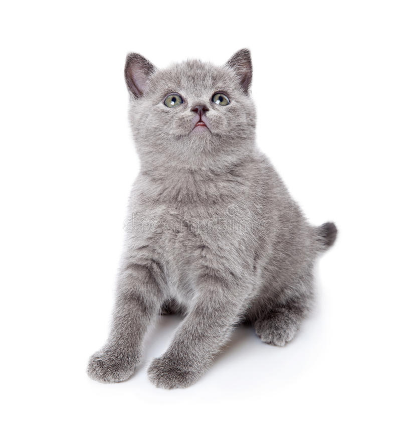 Download A Little Scottish Straight Kitten Is On The Floor Stock Photo - Image: 20567184