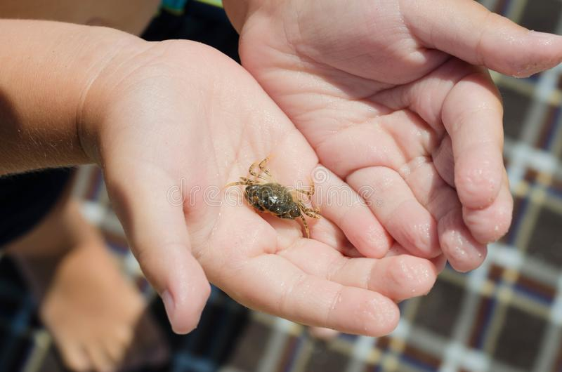 Little sea crab in children`s hands royalty free stock photos