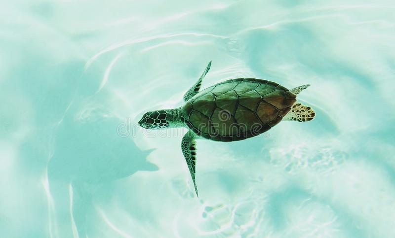 A Turtle In The Shallow Reefs Of Maldives Stock Image