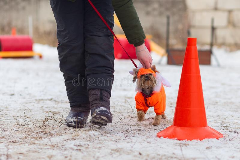 Little shaggy dog in clothes. Training in winter royalty free stock photography
