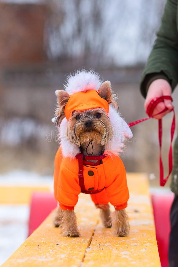 Little shaggy dog in clothes. Training in winter stock photo