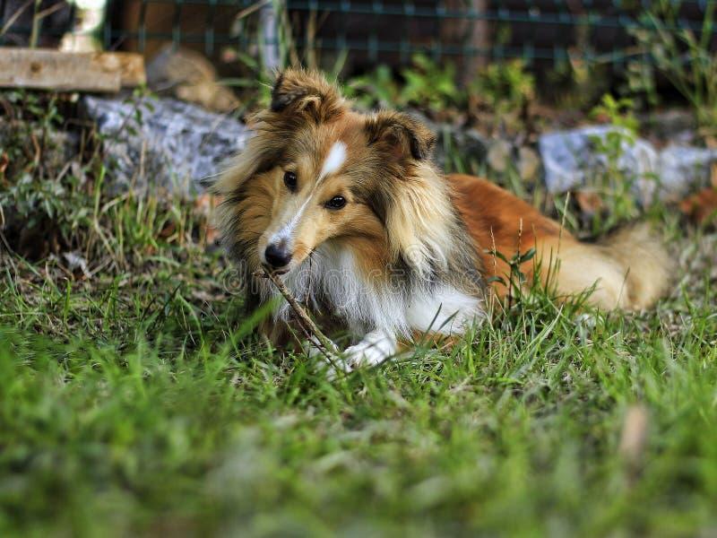 Little Sheltie dog. The garden in the grass stock photos