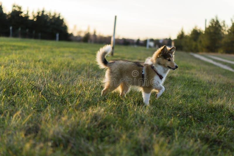 Little Shetland Shepherd stock photo