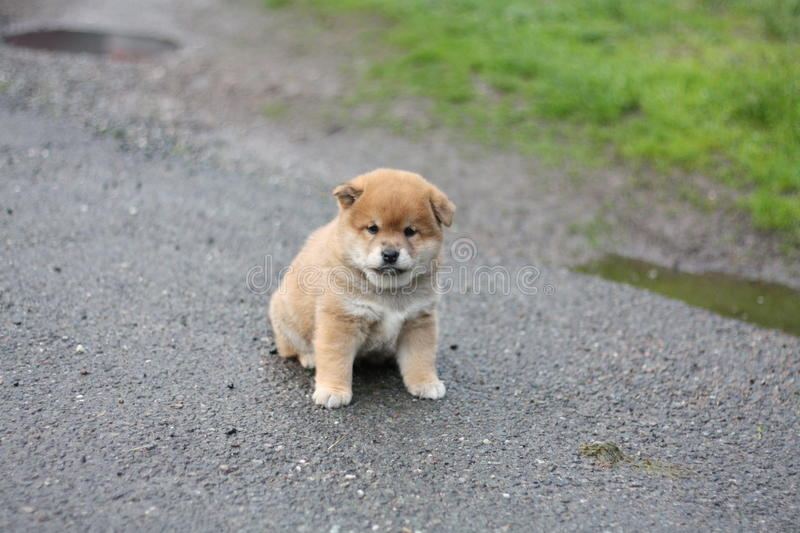 Little shiba inu puppy adorable face stock images