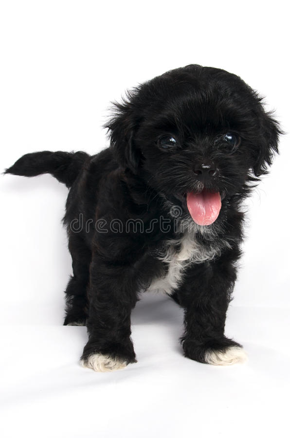 Little Shihtzu puppy cute dog in isolated. Little puppy cute dog in isolated stock photos