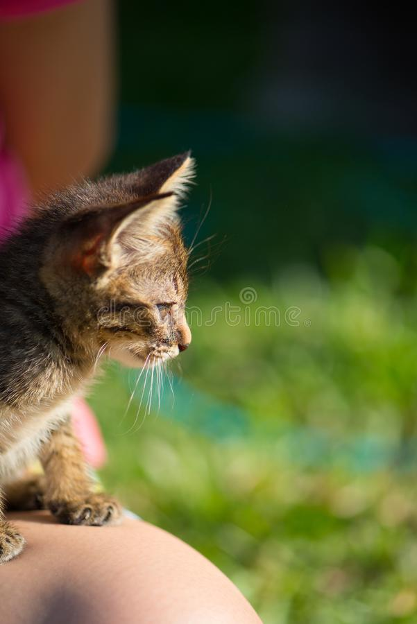 Little short hair cat on women leg. Show pets material picture royalty free stock image