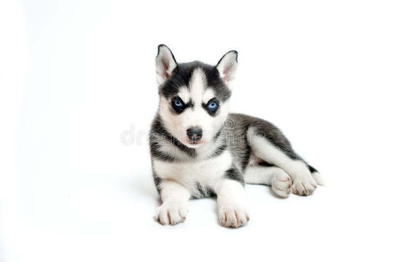 Little siberian husky puppy isolated on white royalty free stock photos