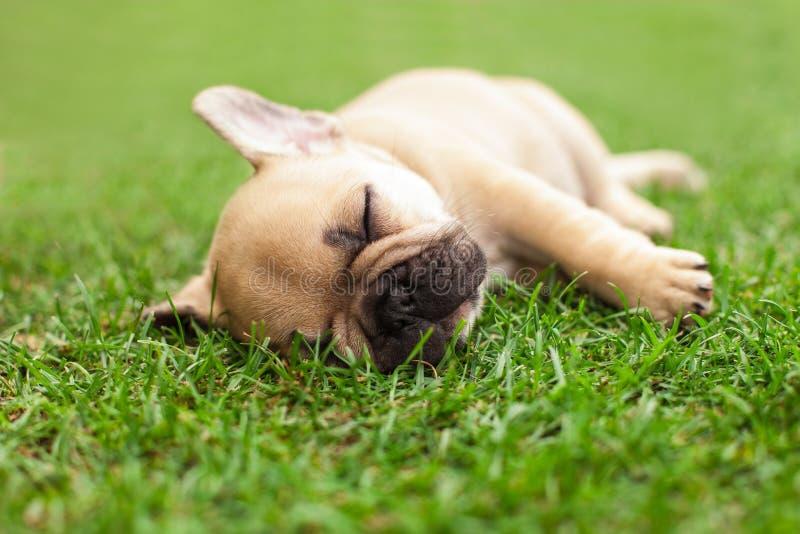 Little sleeping French bulldog puppy. Lying on a beautiful green grass royalty free stock photo
