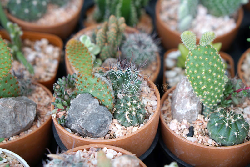 Download Little Small Cactus Garden Stock Photo   Image: 58094963