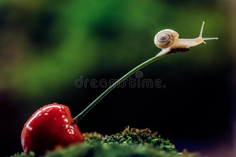 Little snail climbed a cherry royalty free stock photography