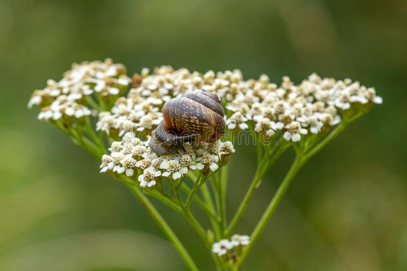 Little snail on the white plant royalty free stock photography