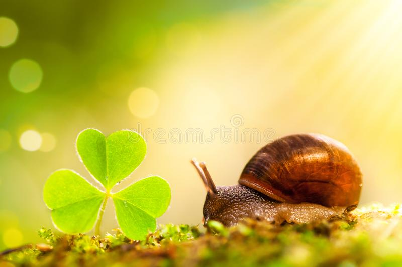 Little snail and green shamrock leaf in sun ray on forest background. Beautiful macro nature landscape stock image