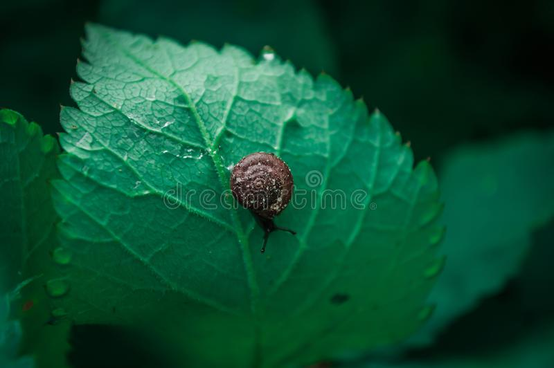 Little snail on the leaf. Little brown snail with brown shell on the green leaf. Close-up photo of snail with bokeh on the background royalty free stock photo