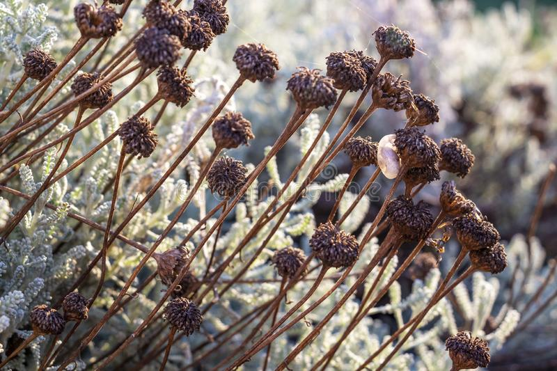 Little snail shell on a dry cotton lavender stem stock image