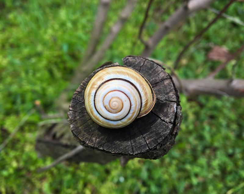 Little snail shell on wood stock image