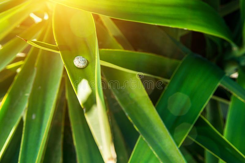Little Snail Sitting on Long Narrow Spiky Interwoven Palm Tree Leaves. Golden Sunlight Flare. Tropical Foliage Pattern stock image