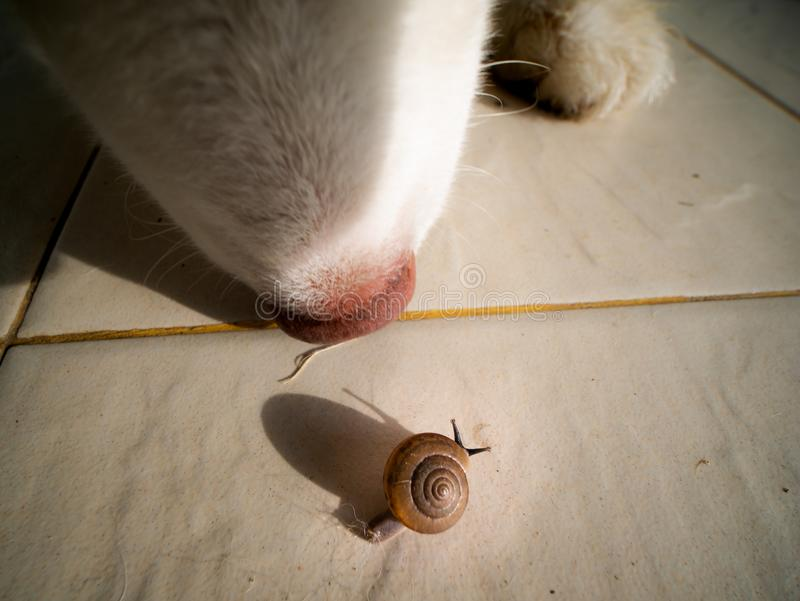 Little Snail Walking and The Dog Watching Closely. The Little Snail Walking on The Tile Floor , and The Siberian Husky Watching Closely stock photo