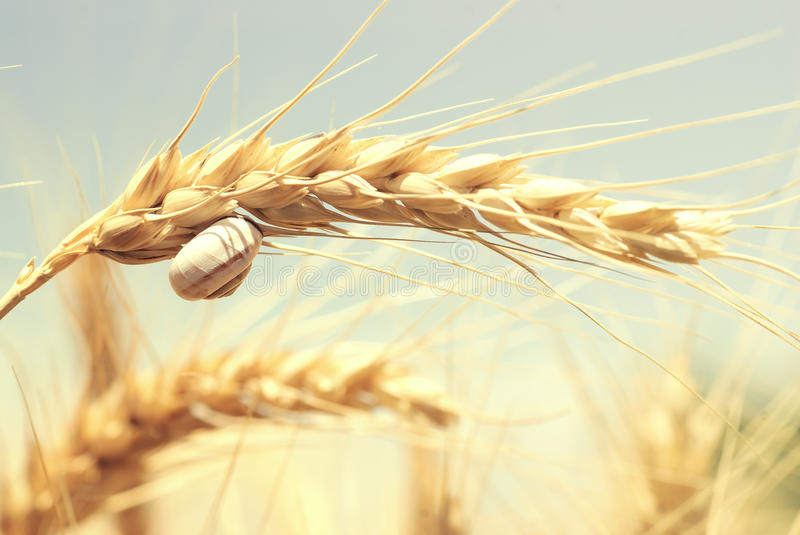 Little snail on a wheat stock images