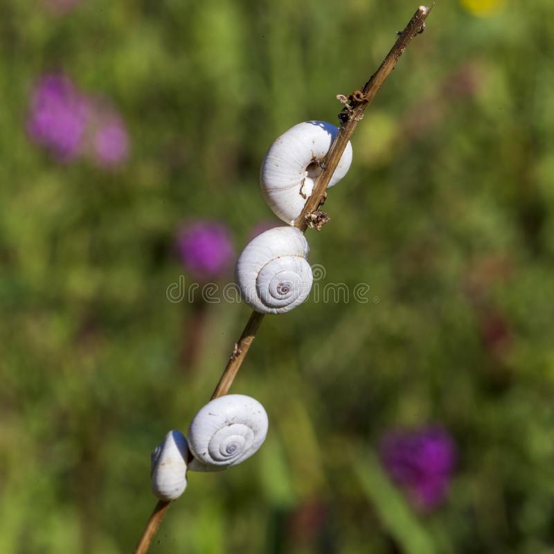Little snails on a branch with purple flowers in background. In Provence France stock image