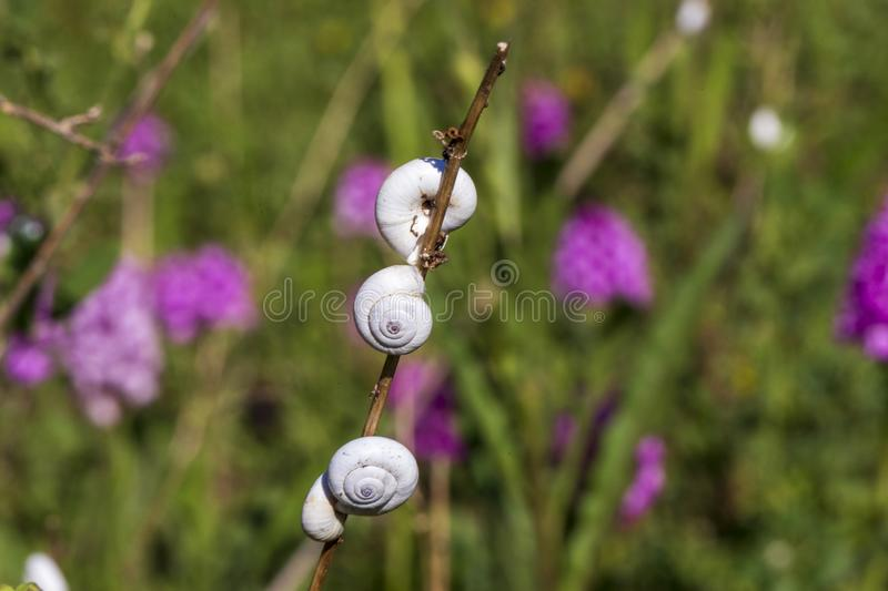 Little snails on a branch with purple flowers in background. In Provence France royalty free stock image