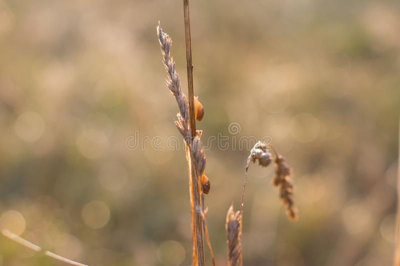 Little snails on a thin spike at dawn. Macrophotography stock photos