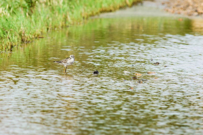 Little snipe in a swamp royalty free stock photo