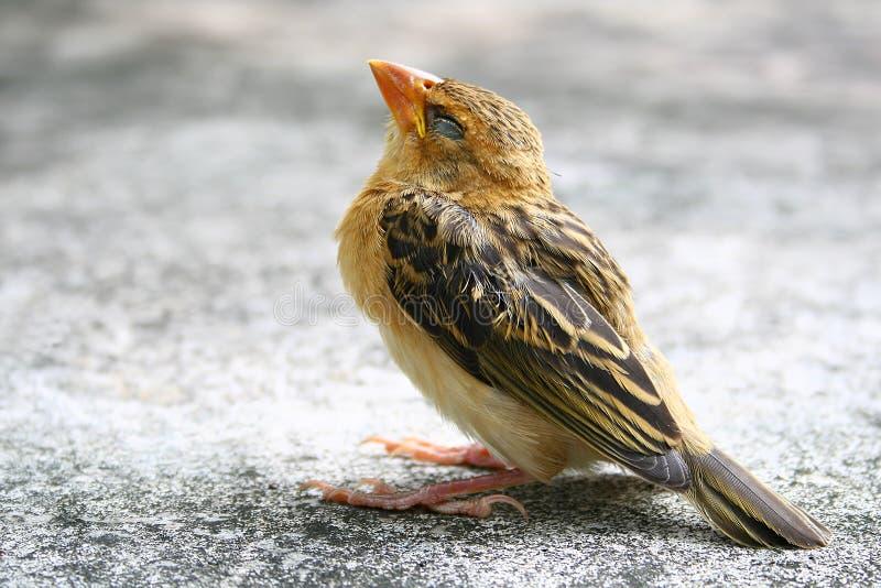 Little sparrow bird