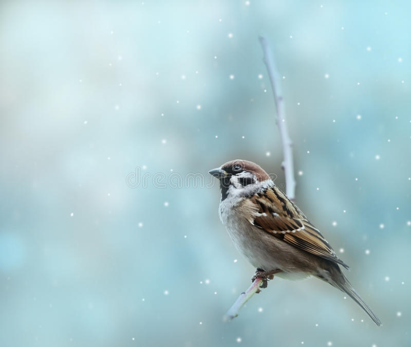 Little sparrow bird in winter. Little sparrow bird on winter background stock images