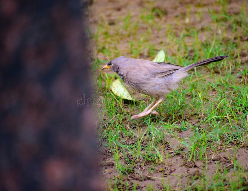 Little sparrow inside a resort in Delhi India, Sparrow looking for food in the park royalty free stock photo