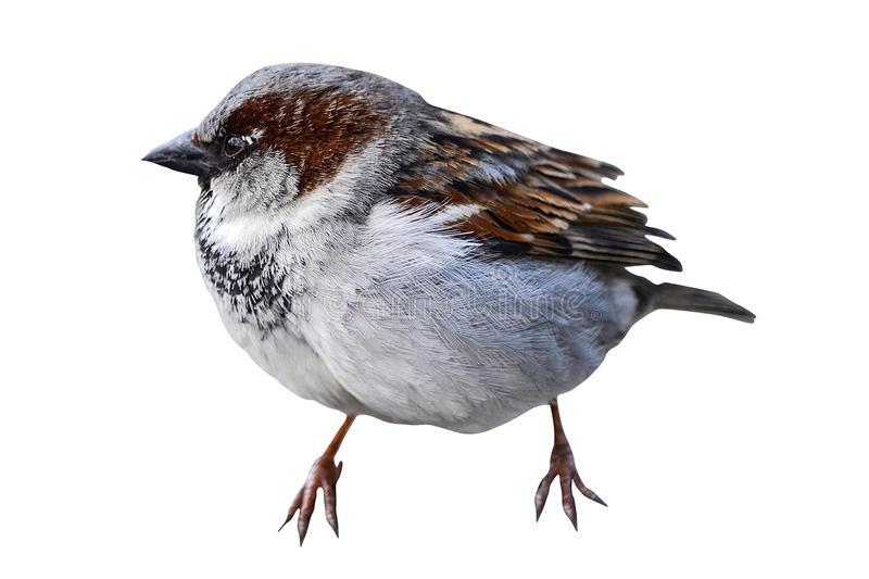 Little sparrow isolated. On a white background stock images