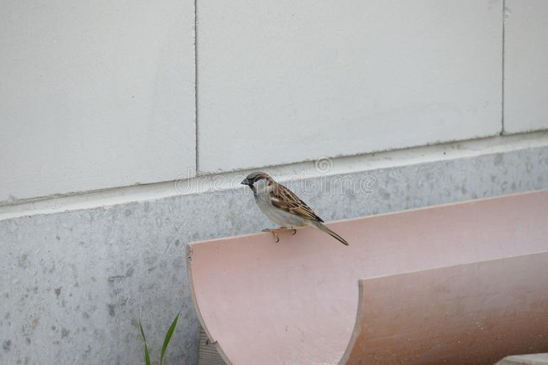 Little sparrow sitting on rain drain stock photos
