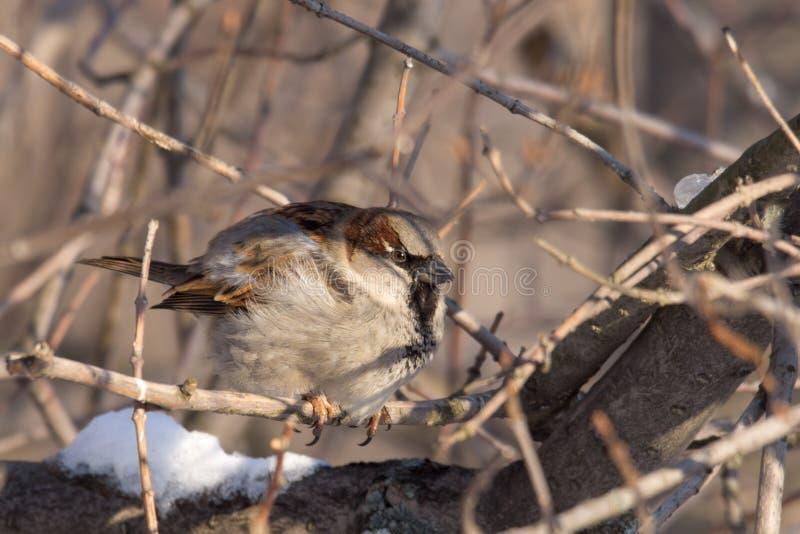Little sparrow stock photo